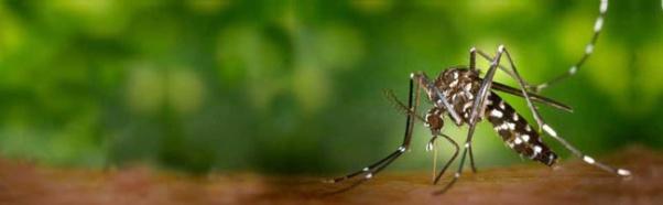 mosquit-tigre